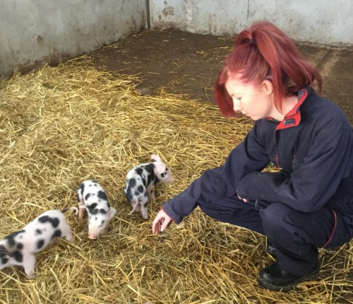 Meeting the new piglets in animal management