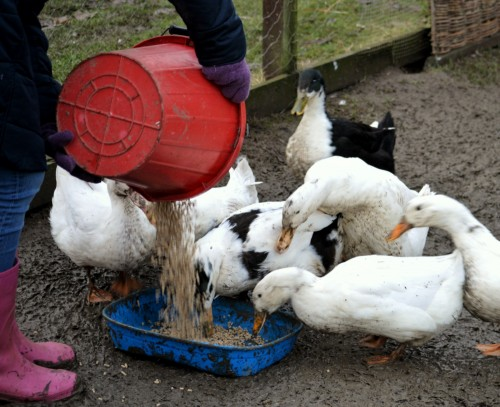 Feeding time for the ducks at Camphill Wakefield
